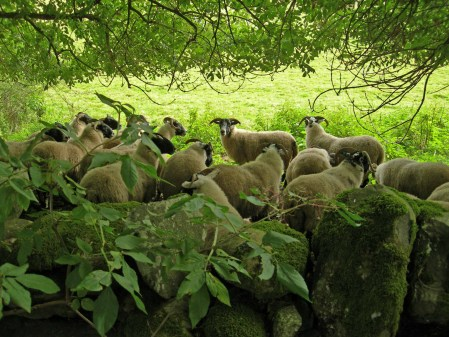 sheep_in_hiding