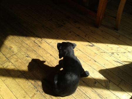 pub puppy