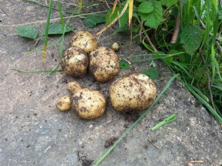 First potatoes