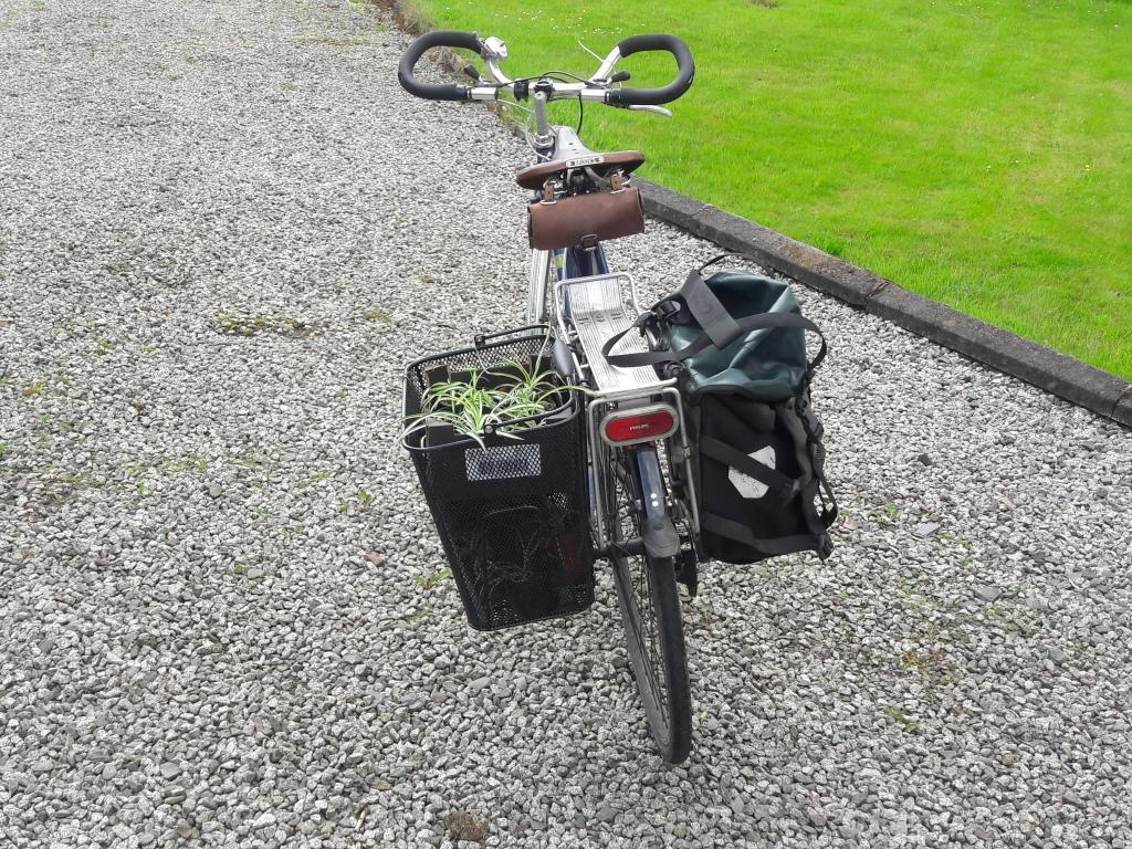 Spider plants in bike basket